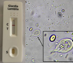 Cat & Dog Giardia Antigen Rapid Test